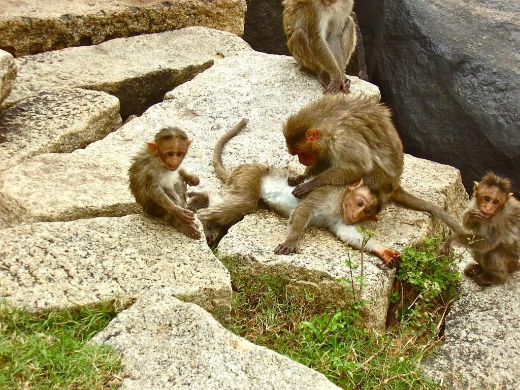 Monkeys in Hampi