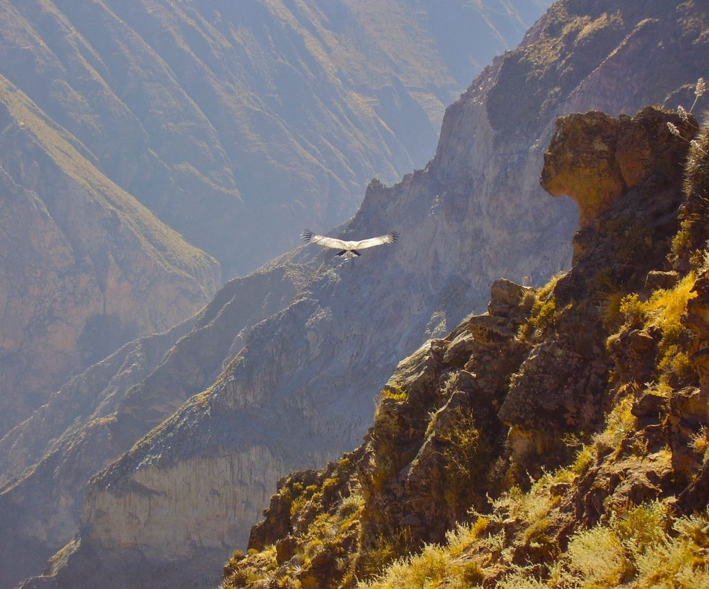 A condor soaring through the vast Colca Canyon, Peru.