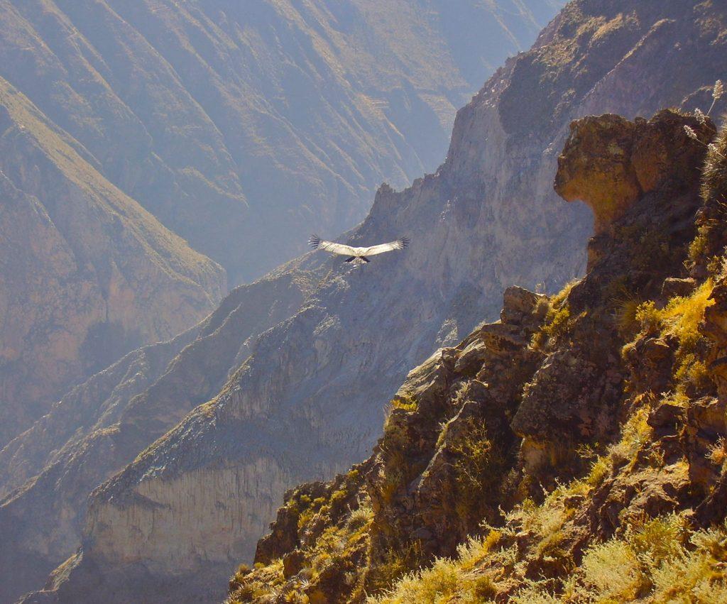A condor soaring through the vast Colca Canyon, Peru.